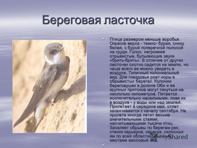 Береговая ласточка Птица размером меньше воробья. Окраска верха - темно- бурая, снизу белая, с бурой поперечной полосой на груди. Голос: негромкие отрывистые, булькающие звуки «брить-брить». В отличие от других ласточек охотно садится на землю, но ч