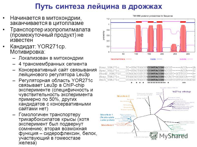 Путь синтеза лейцина в дрожжах Начинается в митохондрии, заканчивается в цитоплазме Транспортер изопропилмалата (промежуточный продукт) не известен Кандидат: YOR271cp. Мотивировка: –Локализован в митохондрии –4 трансмембранных сегмента –Консервативны