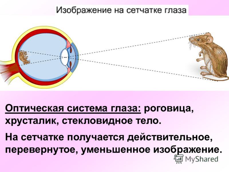 Оптическая система глаза: роговица, хрусталик, стекловидное тело. На сетчатке получается действительное, перевернутое, уменьшенное изображение.