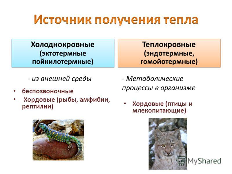 Холоднокровные (эктотермные пойкилотермные) беспозвоночные Хордовые (рыбы, амфибии, рептилии) Теплокровные (эндотермные, гомойотермные) Хордовые (птицы и млекопитающие) - из внешней среды- Метаболические процессы в организме