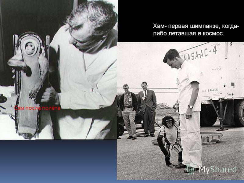 Сэм после полёта Хам- первая шимпанзе, когда- либо летавшая в космос.