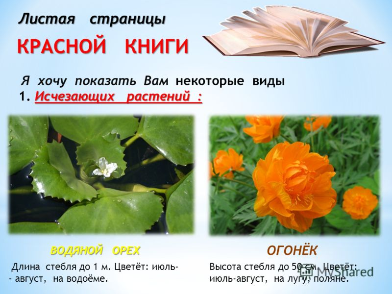Листая страницы КРАСНОЙ КНИГИ ОГОНЁК ВОДЯНОЙ ОРЕХ Я хочу показать Вам некоторые виды Исчезающих растений : 1. Исчезающих растений : Длина стебля до 1 м. Цветёт: июль- - август, на водоёме. Высота стебля до 50 см. Цветёт: июль-август, на лугу, поляне.