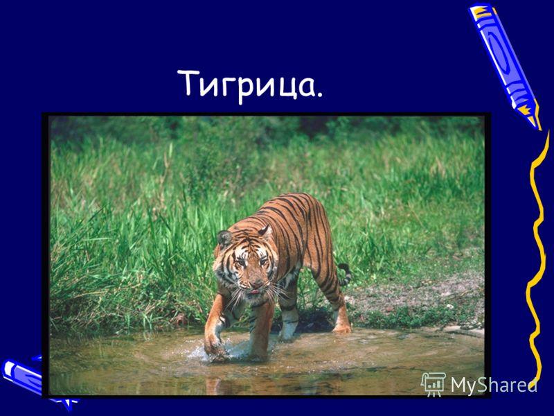 Тигрица.