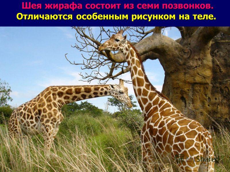 Шея жирафа состоит из семи позвонков. Отличаются особенным рисунком на теле. Шея жирафа состоит из семи позвонков. Отличаются особенным рисунком на теле.
