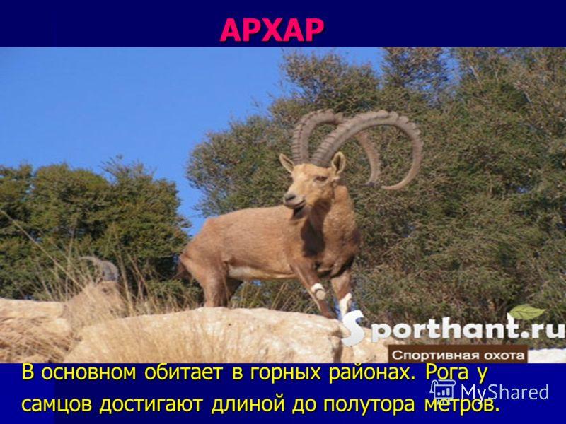 АРХАР АРХАР В основном обитает в горных районах. Рога у самцов достигают длиной до полутора метров.
