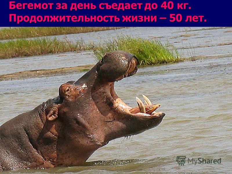 Бегемот за день съедает до 40 кг. Продолжительность жизни – 50 лет..