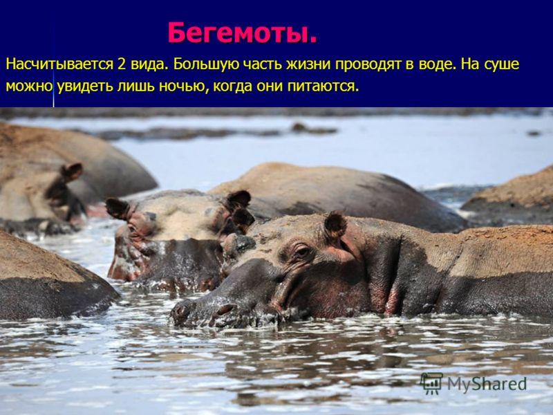 Бегемоты. Бегемоты. Насчитывается 2 вида. Большую часть жизни проводят в воде. На суше можно увидеть лишь ночью, когда они питаются.