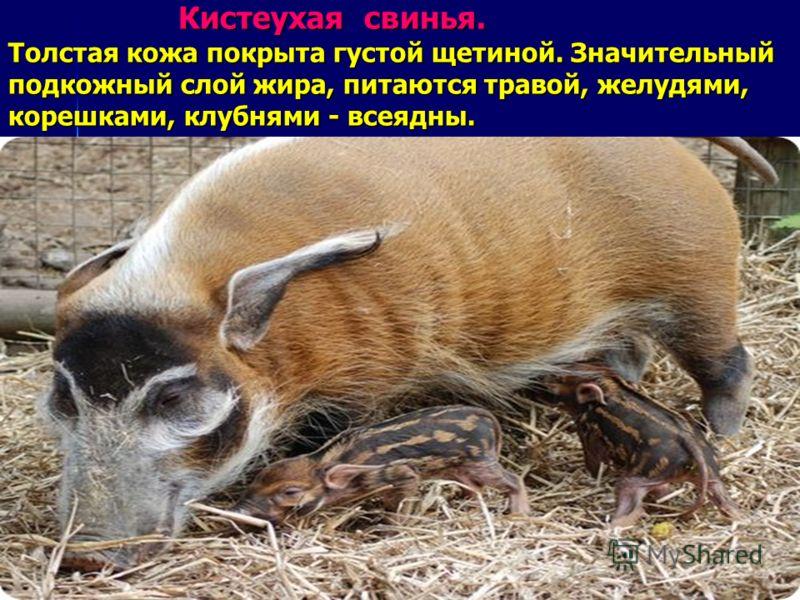 Кистеухая свинья. Толстая кожа покрыта густой щетиной. Значительный подкожный слой жира, питаются травой, желудями, корешками, клубнями - всеядны. Кистеухая свинья. Толстая кожа покрыта густой щетиной. Значительный подкожный слой жира, питаются траво
