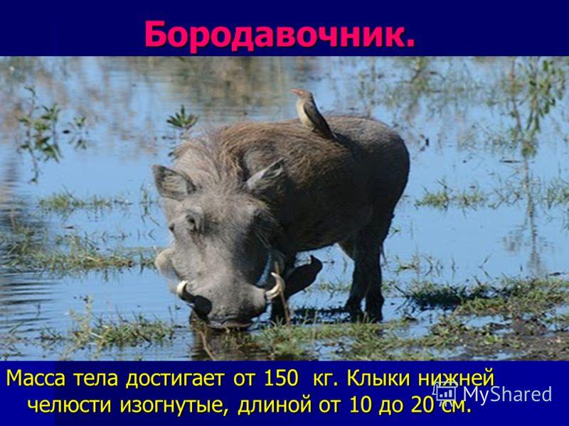 Бородавочник. Бородавочник. Масса тела достигает от 150 кг. Клыки нижней челюсти изогнутые, длиной от 10 до 20 см.