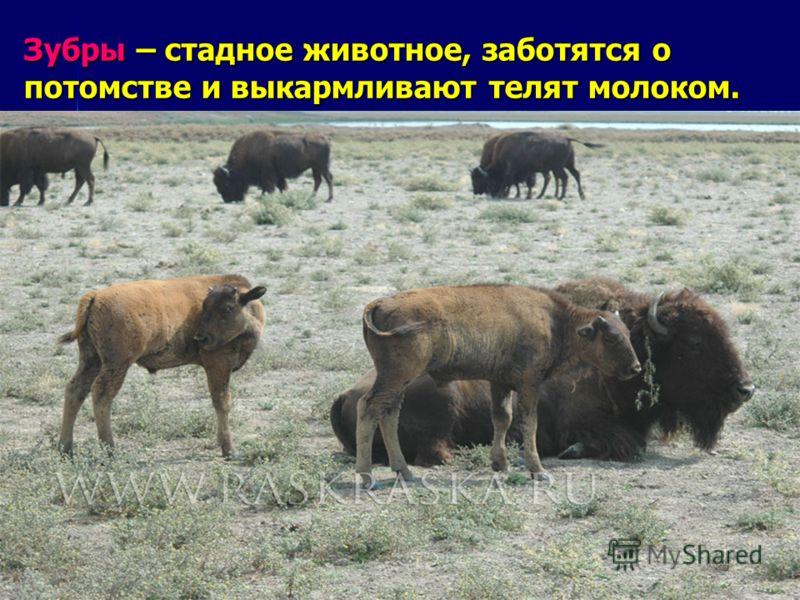 Зубры – стадное животное, заботятся о потомстве и выкармливают телят молоком.