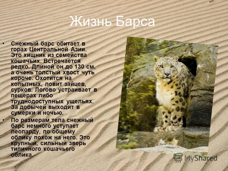 Жизнь Барса Снежный барс обитает в горах Центральной Азии. Это хищник из семейства кошачьих. Встречается редко. Длиной он до 130 см, а очень толстый хвост чуть короче. Охотится на копытных, ловит зайцев, сурков. Логово устраивает в пещерах либо трудн