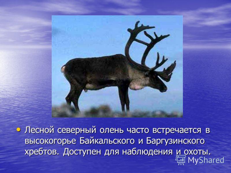 Лесной северный олень часто встречается в высокогорье Байкальского и Баргузинского хребтов. Доступен для наблюдения и охоты. Лесной северный олень часто встречается в высокогорье Байкальского и Баргузинского хребтов. Доступен для наблюдения и охоты.