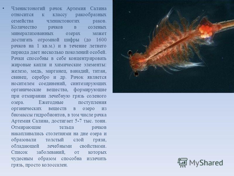 Членистоногий рачок Артемия Салина относится к классу ракообразных семейства членистоногих раков. Количество рачков в соленых минерализованных озерах может достигать огромной цифры (до 1600 рачков на 1 кв.м.) и в течение летнего периода дает нескольк