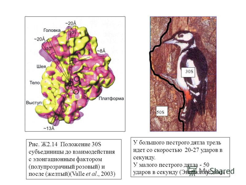 24 50S 30S Рис. Ж2.14 Положение 30S субъединицы до взаимодействия с элонгационным фактором (полупрозрачный розовый) и после (желтый)(Valle et al., 2003) У большого пестрого дятла трель идет со скоростью 20-27 ударов в секунду. У малого пестрого дятла