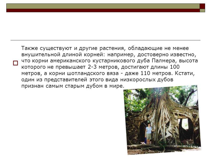 Также существуют и другие растения, обладающие не менее внушительной длиной корней: например, достоверно известно, что корни американского кустарникового дуба Палмера, высота которого не превышает 2-3 метров, достигают длины 100 метров, а корни шотла