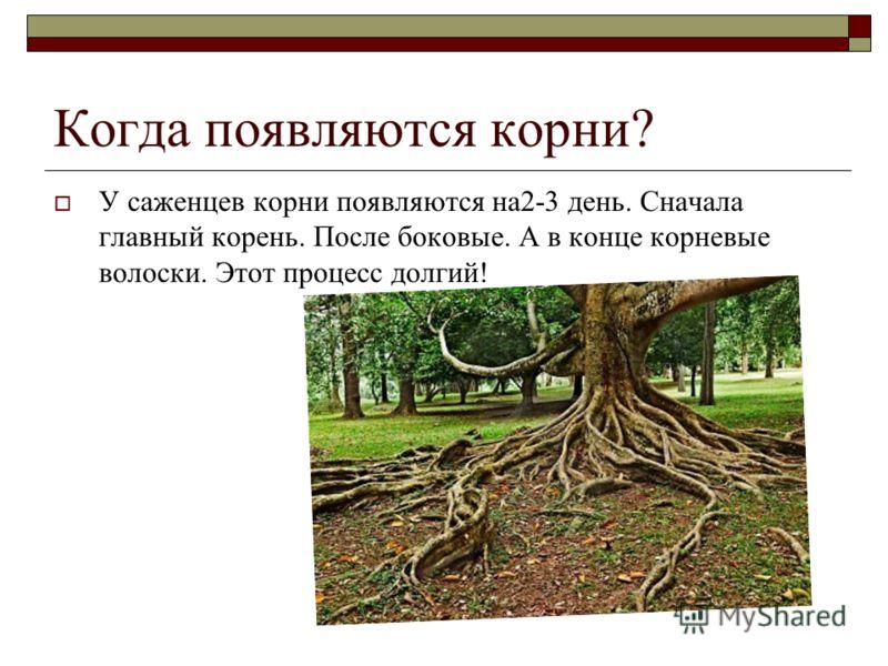 Когда появляются корни? У саженцев корни появляются на2-3 день. Сначала главный корень. После боковые. А в конце корневые волоски. Этот процесс долгий!