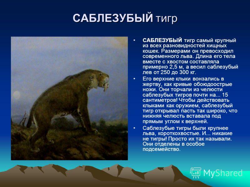 САБЛЕЗУБЫЙ тигр САБЛЕЗУБЫЙ тигр самый крупный из всех разновидностей хищных кошек. Размерами он превосходил современного льва. Длина его тела вместе с хвостом составляла примерно 2,5 м, а весил саблезубый лев от 250 до 300 кг. Его верхние клыки вонза