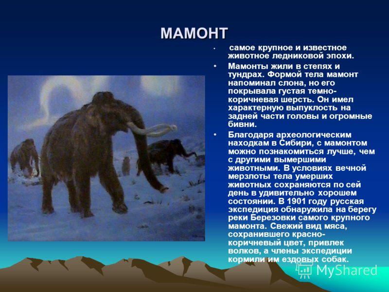 МАМОНТ самое крупное и известное животное ледниковой эпохи. Мамонты жили в степях и тундрах. Формой тела мамонт напоминал слона, но его покрывала густая темно- коричневая шерсть. Он имел характерную выпуклость на задней части головы и огромные бивни.