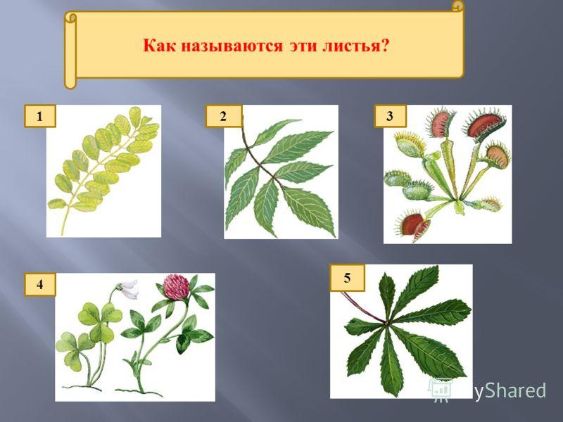 Как называются эти листья? 123 5 4