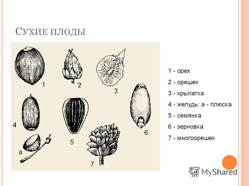 1 - орех 2 - орешек 3 - крылатка 4 - желудь: а - плюска 5 - семянка 6 - зерновка 7 - многоорешек
