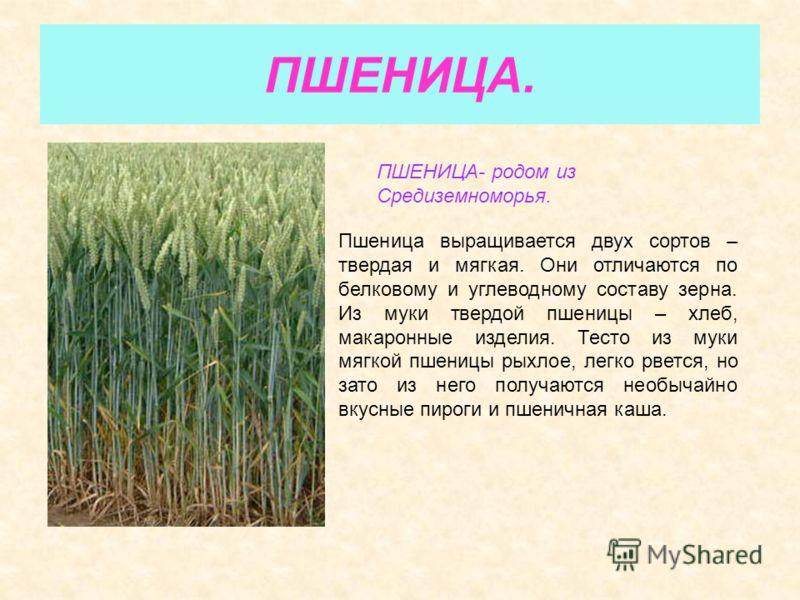 ПШЕНИЦА. ПШЕНИЦА- родом из Средиземноморья. Пшеница выращивается двух сортов – твердая и мягкая. Они отличаются по белковому и углеводному составу зерна. Из муки твердой пшеницы – хлеб, макаронные изделия. Тесто из муки мягкой пшеницы рыхлое, легко р