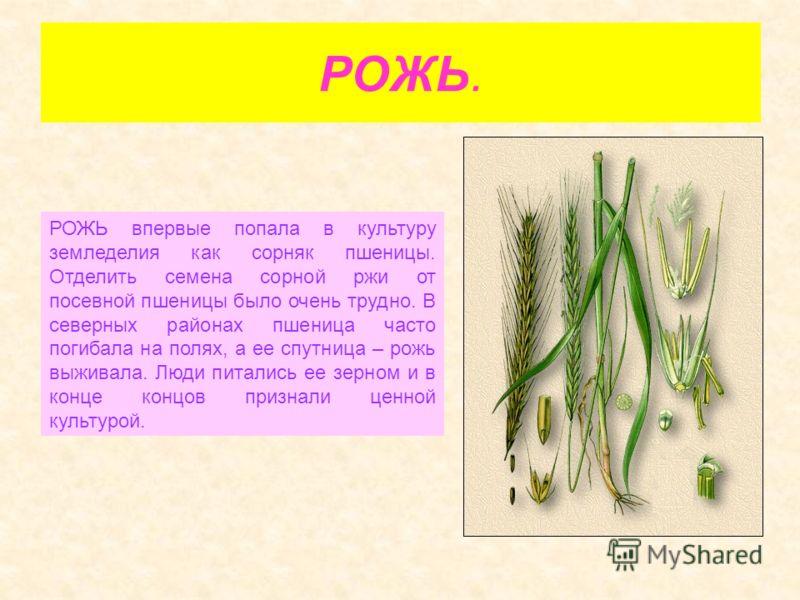 РОЖЬ. РОЖЬ впервые попала в культуру земледелия как сорняк пшеницы. Отделить семена сорной ржи от посевной пшеницы было очень трудно. В северных районах пшеница часто погибала на полях, а ее спутница – рожь выживала. Люди питались ее зерном и в конце