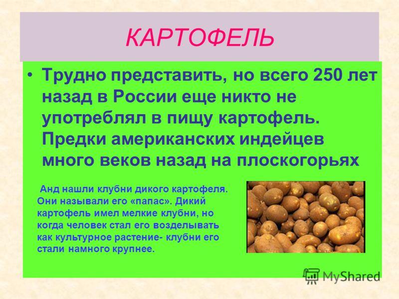 КАРТОФЕЛЬ Трудно представить, но всего 250 лет назад в России еще никто не употреблял в пищу картофель. Предки американских индейцев много веков назад на плоскогорьях Анд нашли клубни дикого картофеля. Они называли его «папас». Дикий картофель имел м