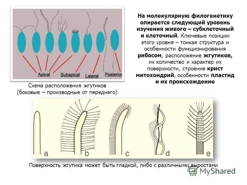 Схема расположения жгутиков (боковые – производные от переднего) Поверхность жгутика может быть гладкой, либо с различными выростами На молекулярную филогенетику опирается следующий уровень изучения живого – субклеточный и клеточный. Ключевые позиции