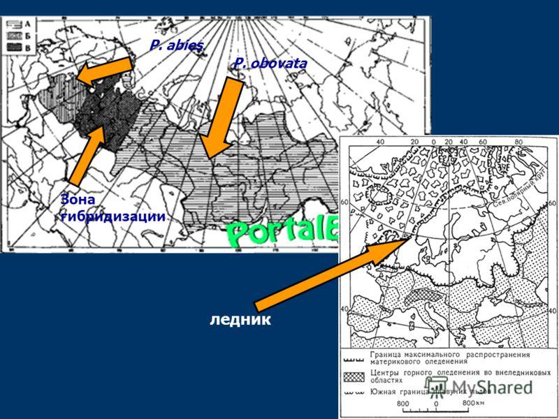 P. abies P. obovata Зона гибридизации ледник