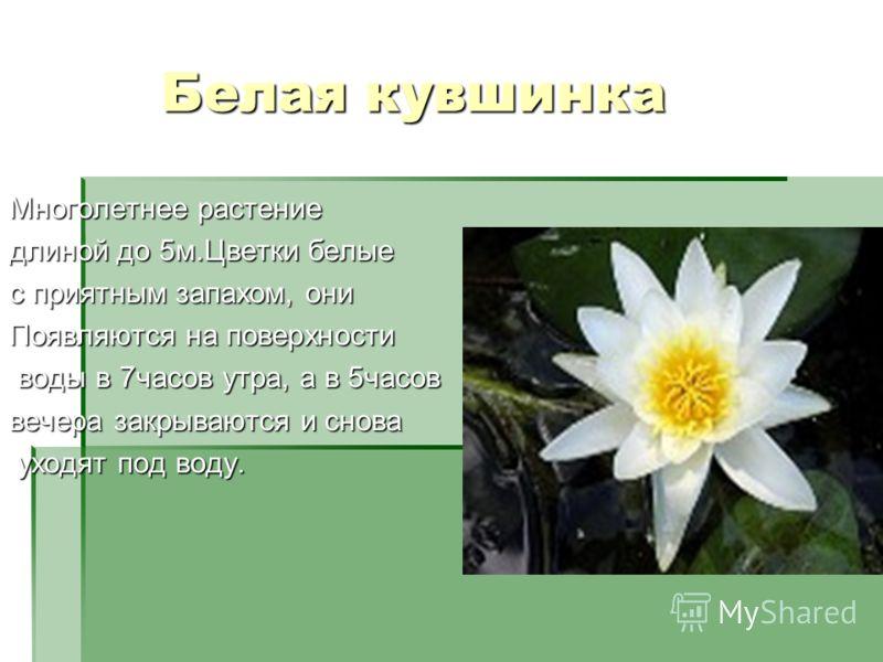 Белая кувшинка Белая кувшинка Многолетнее растение длиной до 5м.Цветки белые с приятным запахом, они Появляются на поверхности воды в 7часов утра, а в 5часов воды в 7часов утра, а в 5часов вечера закрываются и снова уходят под воду. уходят под воду.