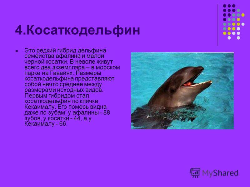 4.Косаткодельфин Это редкий гибрид дельфина семейства афалина и малой черной косатки. В неволе живут всего два экземпляра – в морском парке на Гавайях. Размеры косаткодельфина представляют собой нечто среднее между размерами исходных видов. Первым ги