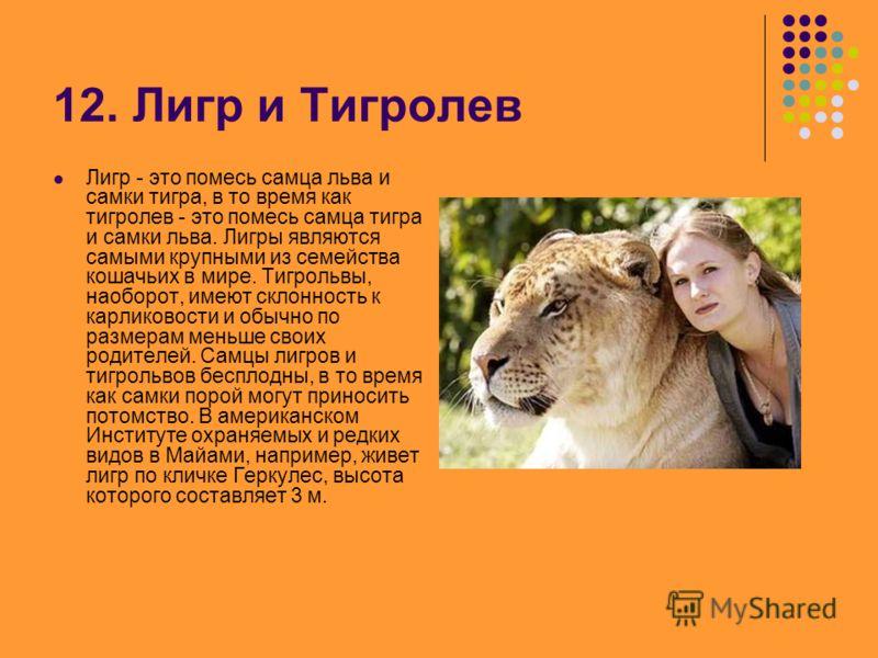 12. Лигр и Тигролев Лигр - это помесь самца льва и самки тигра, в то время как тигролев - это помесь самца тигра и самки льва. Лигры являются самыми крупными из семейства кошачьих в мире. Тигрольвы, наоборот, имеют склонность к карликовости и обычно