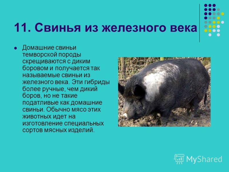 11. Свинья из железного века Домашние свиньи темворской породы скрещиваются с диким боровом и получается так называемые свиньи из железного века. Эти гибриды более ручные, чем дикий боров, но не такие податливые как домашние свиньи. Обычно мясо этих
