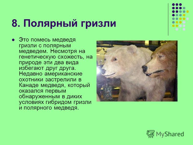 8. Полярный гризли Это помесь медведя гризли с полярным медведем. Несмотря на генетическую схожесть, на природе эти два вида избегают друг друга. Недавно американские охотники застрелили в Канаде медведя, который оказался первым обнаруженным в диких