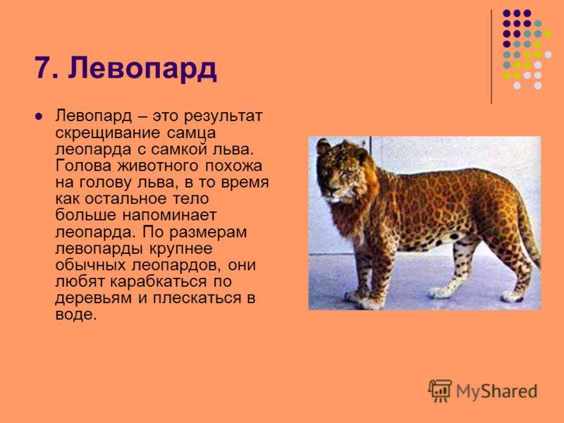 7. Левопард Левопард – это результат скрещивание самца леопарда с самкой льва. Голова животного похожа на голову льва, в то время как остальное тело больше напоминает леопарда. По размерам левопарды крупнее обычных леопардов, они любят карабкаться по