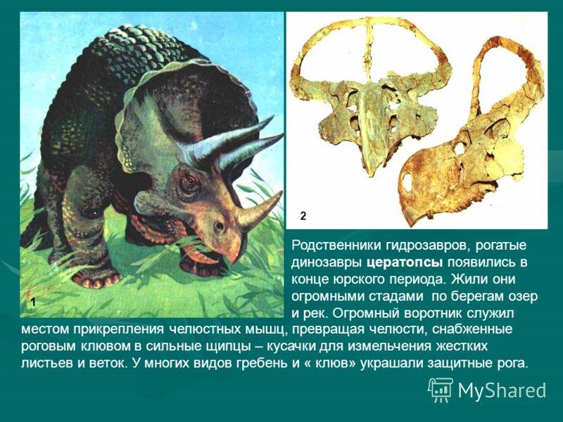 Родственники гидрозавров, рогатые динозавры цератопсы появились в конце юрского периода. Жили они огромными стадами по берегам озер и рек. Огромный воротник служил местом прикрепления челюстных мышц, превращая челюсти, снабженные роговым клювом в сил