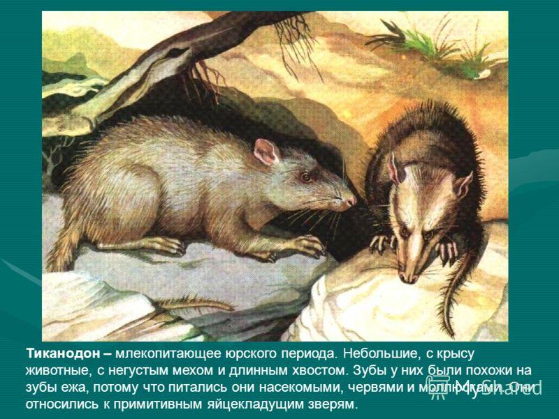 Тиканодон – млекопитающее юрского периода. Небольшие, с крысу животные, с негустым мехом и длинным хвостом. Зубы у них были похожи на зубы ежа, потому что питались они насекомыми, червями и моллюсками. Они относились к примитивным яйцекладущим зверям