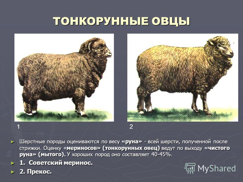 ТОНКОРУННЫЕ ОВЦЫ Шерстные породы оцениваются по весу «руна» - всей шерсти, полученной после стрижки. Оценку «мериносов» (тонкорунных овец) ведут по выходу «чистого руна» (мытого). У хороших пород оно составляет 40-45%. 1. Советский меринос. 2. Прекос