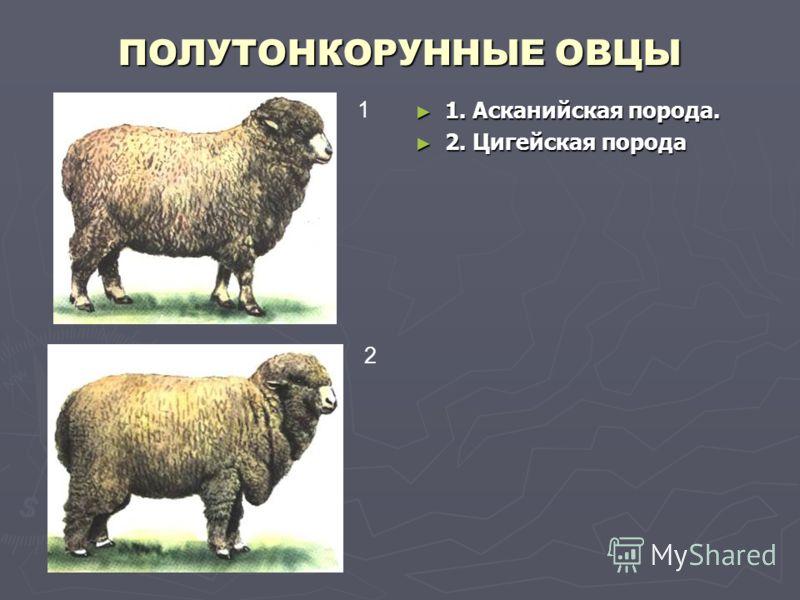 ПОЛУТОНКОРУННЫЕ ОВЦЫ 1. Асканийская порода. 2. Цигейская порода 1 2