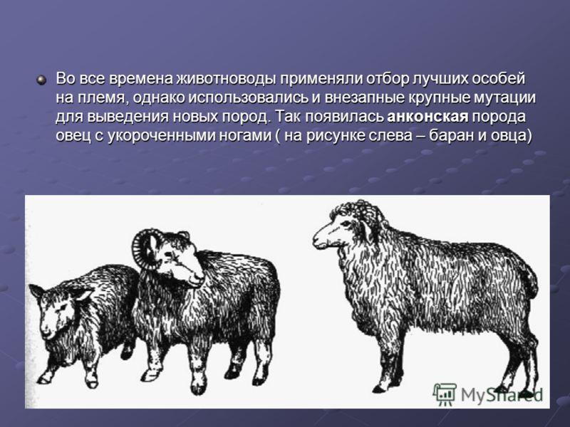 Во все времена животноводы применяли отбор лучших особей на племя, однако использовались и внезапные крупные мутации для выведения новых пород. Так появилась анконская порода овец с укороченными ногами ( на рисунке слева – баран и овца)
