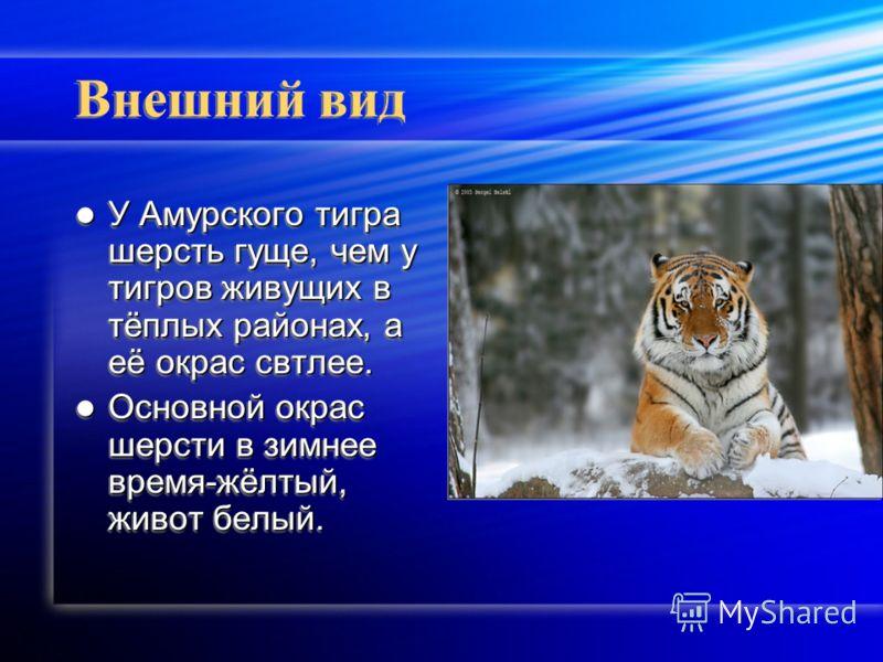 Внешний вид У Амурского тигра шерсть гуще, чем у тигров живущих в тёплых районах, а её окрас свтлее. У Амурского тигра шерсть гуще, чем у тигров живущих в тёплых районах, а её окрас свтлее. Основной окрас шерсти в зимнее время-жёлтый, живот белый. Ос