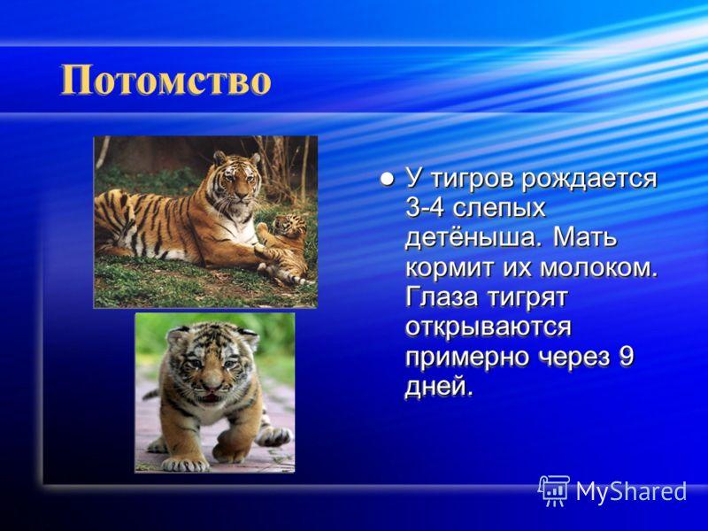 Потомство У тигров рождается 3-4 слепых детёныша. Мать кормит их молоком. Глаза тигрят открываются примерно через 9 дней.