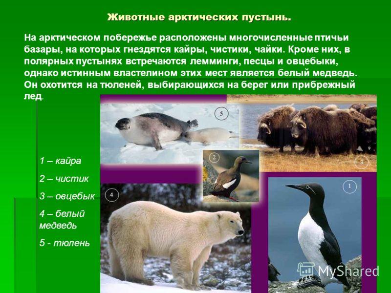 Животные арктических пустынь. На арктическом побережье расположены многочисленные птичьи базары, на которых гнездятся кайры, чистики, чайки. Кроме них