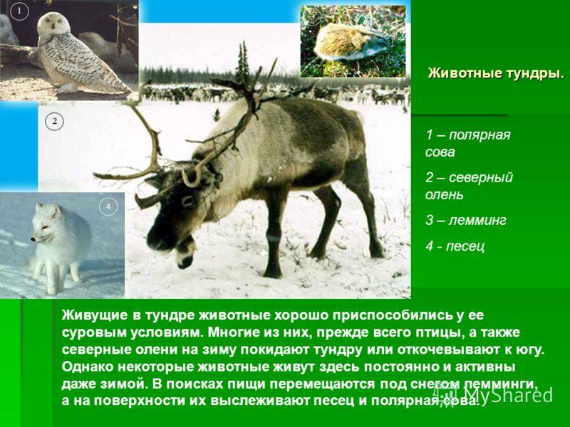 Животные тундры. Живущие в тундре животные хорошо приспособились у ее суровым условиям. Многие из них, прежде всего птицы, а также северные олени на з