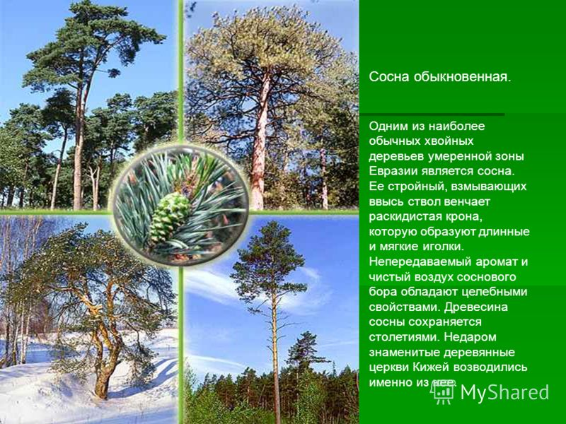 Сосна обыкновенная. Одним из наиболее обычных хвойных деревьев умеренной зоны Евразии является сосна. Ее стройный, взмывающих ввысь ствол венчает раск