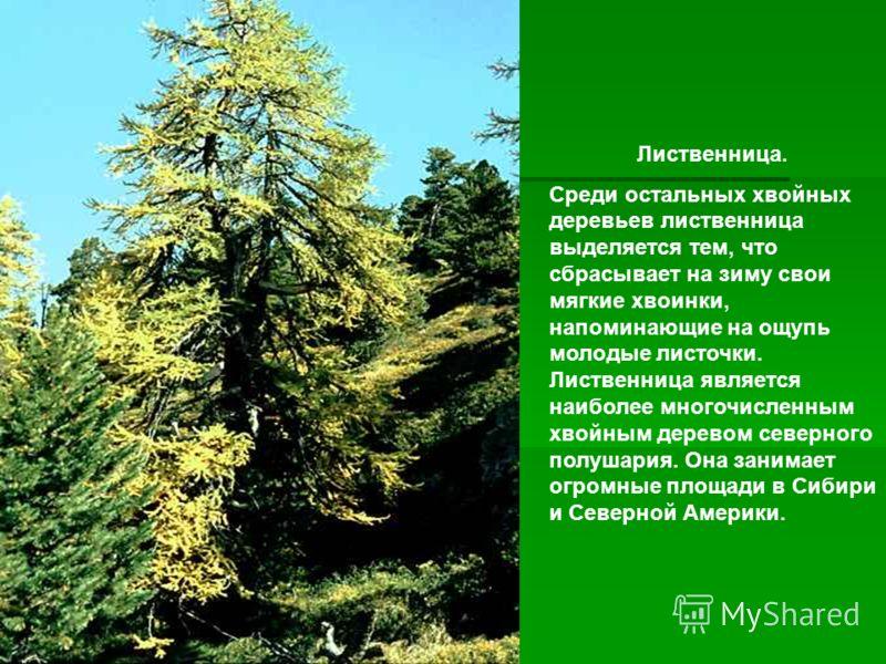 Лиственница. Среди остальных хвойных деревьев лиственница выделяется тем, что сбрасывает на зиму свои мягкие хвоинки, напоминающие на ощупь молодые ли