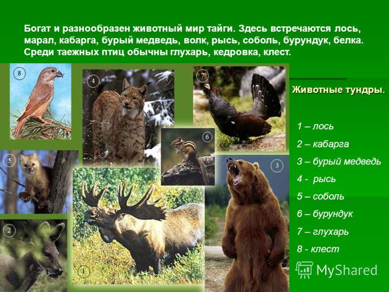 Животные тундры. 1 – лось 2 – кабарга 3 – бурый медведь 4 - рысь 5 – соболь 6 – бурундук 7 – глухарь 8 - клест Богат и разнообразен животный мир тайги. Здесь встречаются лось, марал, кабарга, бурый медведь, волк, рысь, соболь, бурундук, белка. Среди