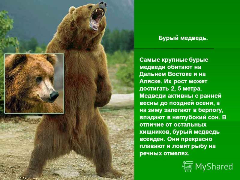 Бурый медведь. Самые крупные бурые медведи обитают на Дальнем Востоке и на Аляске. Их рост может достигать 2, 5 метра. Медведи активны с ранней весны