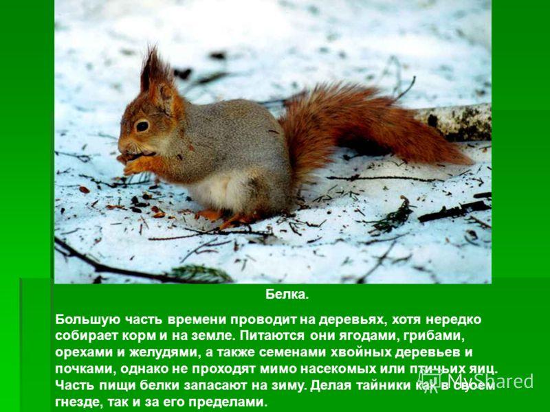 Белка. Большую часть времени проводит на деревьях, хотя нередко собирает корм и на земле. Питаются они ягодами, грибами, орехами и желудями, а также с