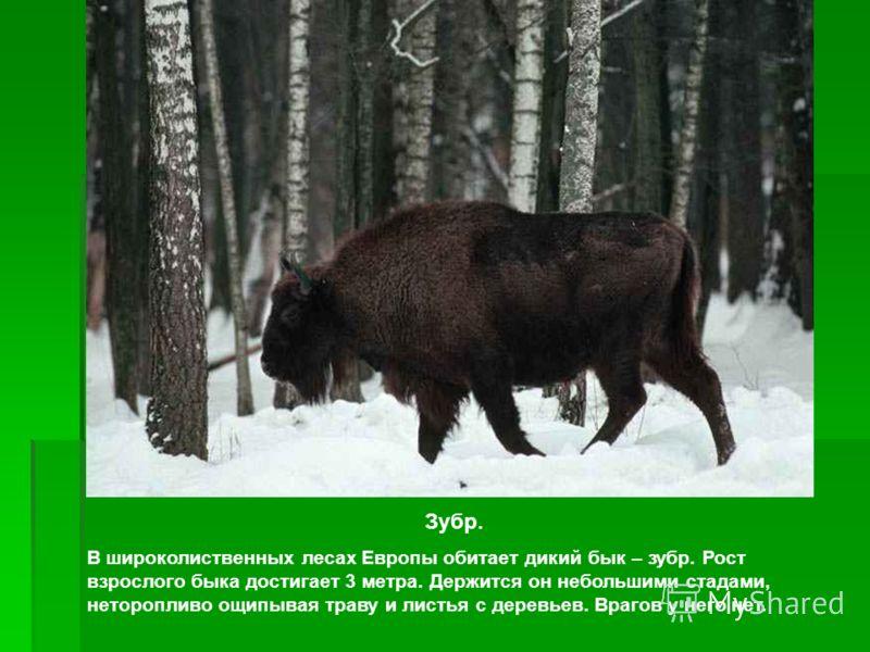Зубр. В широколиственных лесах Европы обитает дикий бык – зубр. Рост взрослого быка достигает 3 метра. Держится он небольшими стадами, неторопливо ощипывая траву и листья с деревьев. Врагов у него нет.